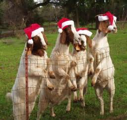 What to do with the christmas tree give it to the goats