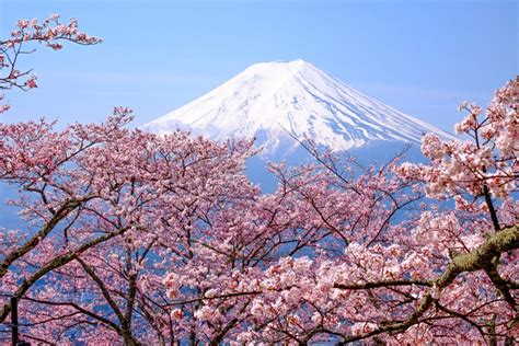 Cherry Blossoms In Japan Can You Rely On The Forecast Japanese Cherry Blossom Flower