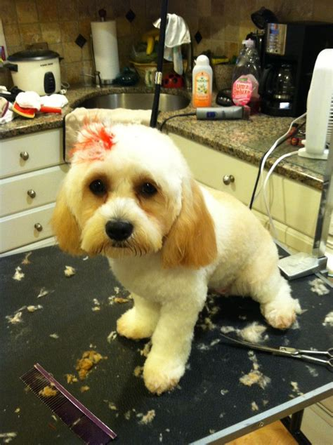 Cavapoo Shedding by 1000 Images About Grooming On Creative