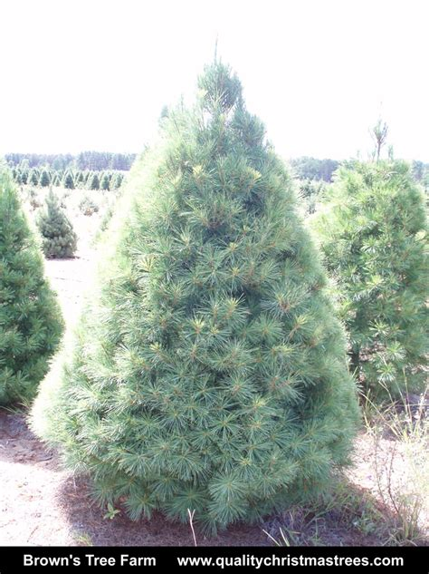 best 28 whites christmas tree farm brumby white