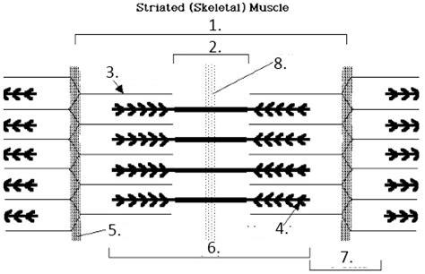 labeled sarcomere diagram imagequiz sarcomere structure