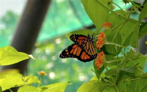 imagenes de mariposas juntas mariposario aula verde busca escuelas p 250 blicas para