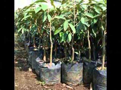 Bibit Belut Di Jawa Tengah jual bibit durian di semarang jawa tengah hub 08121605732
