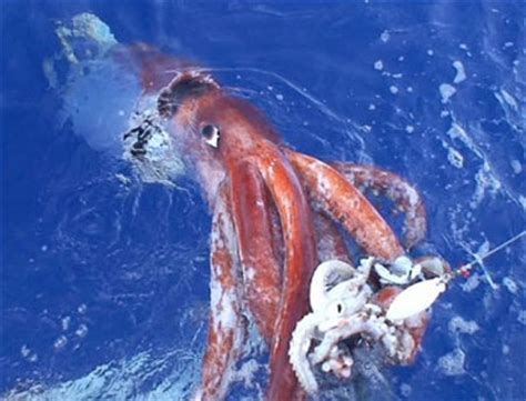 giant squid attacks fishing boat giant squids depleting fish populations now turning their
