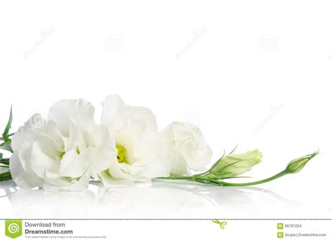 imagenes de luto blancas flores blancas hermosas del eustoma foto de archivo