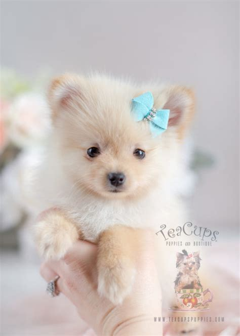 pomeranian sounds tiny teacup pomeranian puppies teacups puppies boutique