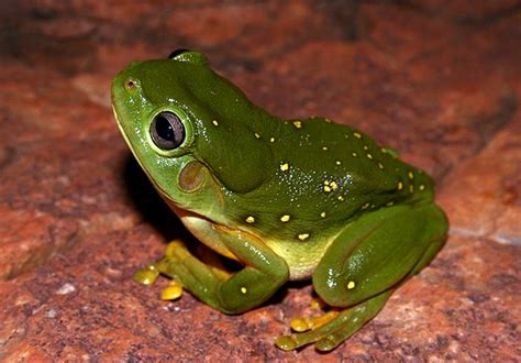 frog animals  gallery high quality wallpaper