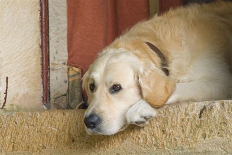 golden retriever bone cancer symptoms primer on lymphoma dawg business it s your s health