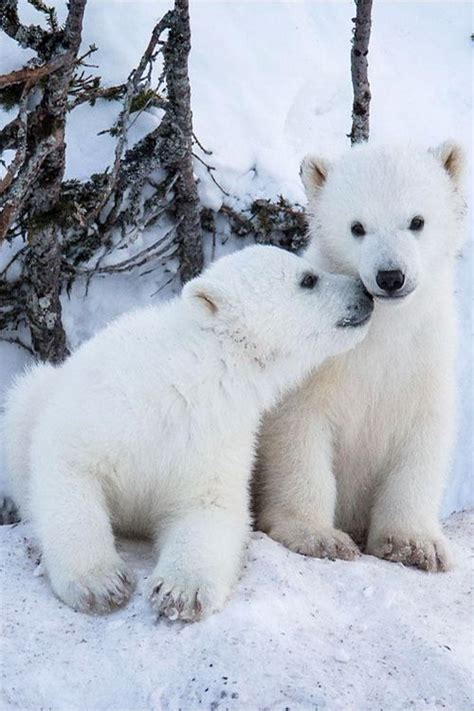 bbbear polar 231 best images about polar bears on mothers