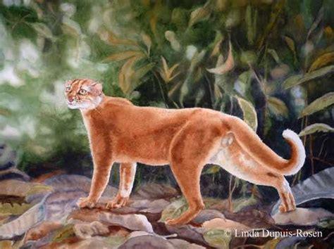 borneo bay cat linda dupuis rosen wildlife art in watercolor gallery