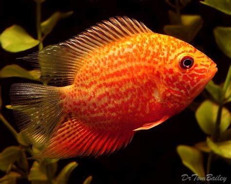 breeding red severum cichlid severum for sale aquariumfish net