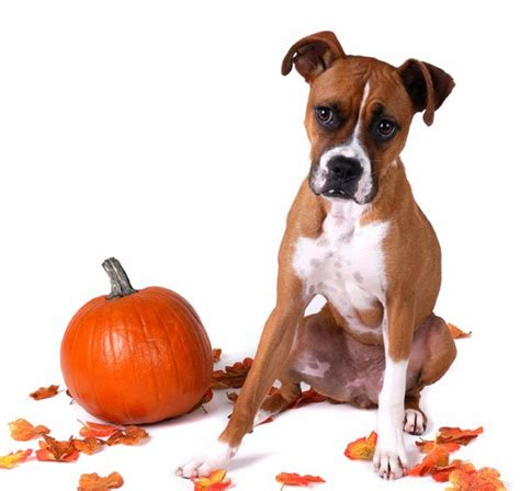 canned pumpkin for dogs 18 canned pumpkin for constipation 100 canned pumpkin for dogs ren u0027s