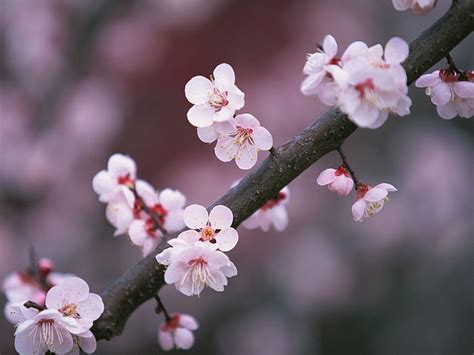 Japanese Blossom Tree another time another world sakura brings hopes for japan