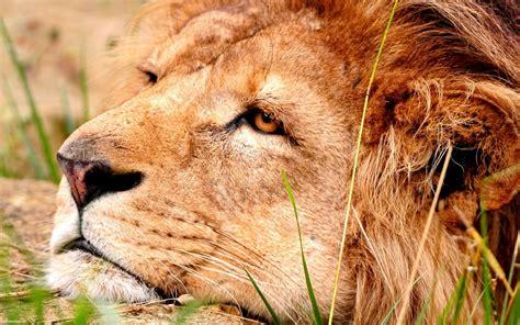 Imagenes De Leones Tristes | imagenes de leones imagen leon triste