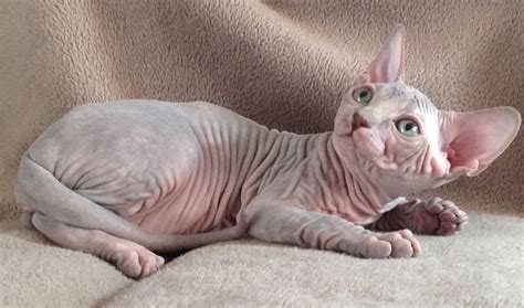 The Sphynx Cats Characteristics, History and Pictures