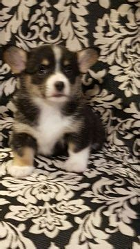 corgi puppies for sale in idaho best 20 corgi puppies for sale ideas on