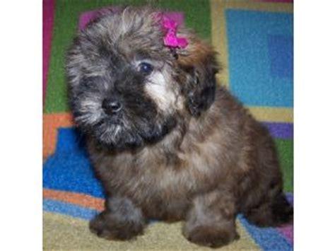 shih tzu half poodle shih tzu puppies in arkansas