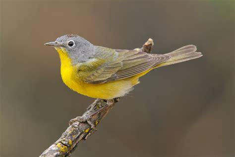 Backyard Bird Count Nashville Warbler Audubon Field Guide
