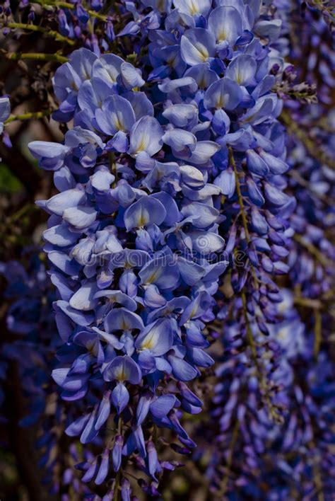 copy right free pictures of purple wisteria purple wisteria stock image image of glycine violet 23710411