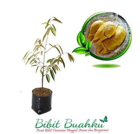 Bibit Durian Petruk jual bibit durian petruk cocok untuk dataran rendah