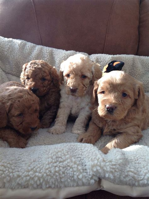 labradoodles puppies for sale hshire genuine f1b labradoodle puppies crewe cheshire pets4homes