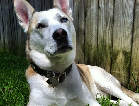 shih tzu cross breed siberian husky what is husky pitbull mix