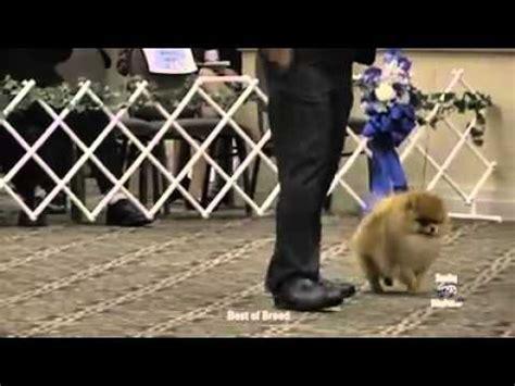 american pomeranian club the 2011 pomeranian national specialty funnydog tv