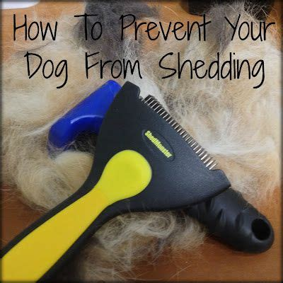 how to stop golden retriever from shedding 25 best ideas about shedding remedies on shedding itchy