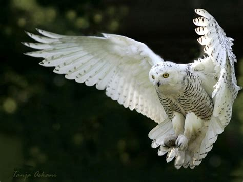 Snowy owl in flight wallpaper forwallpaper com