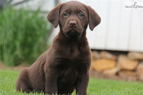 chocolate lab puppies for sale near me labrador retriever puppy for sale near lancaster pennsylvania 848f6370 f881