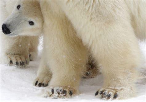 two polar bears in a bathtub polar bear cub lomonosov plays with his mother uslada in