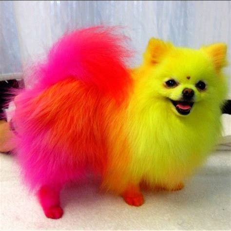 pomeranian with hair let s get to the bottom of this is it safe to color your pomeranians hair