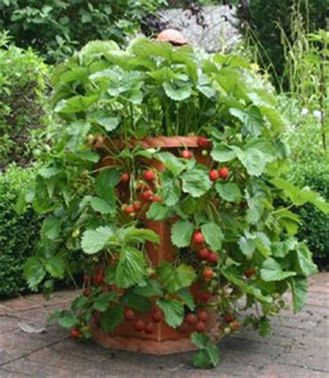 container gardening strawberries grow strawberries in strawberry pots pictures of