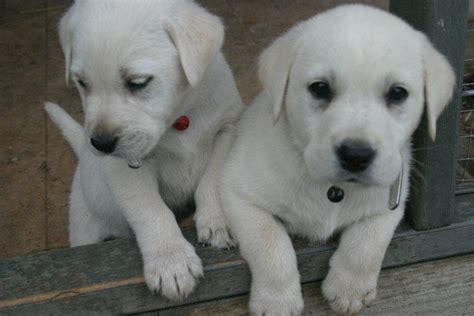 golden retriever for sale nsw for sale labrador x golden retriever pups