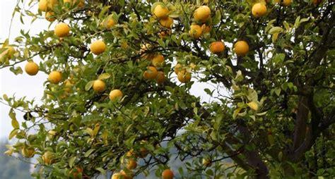 concime per limone in vaso concimeazione limoni concime