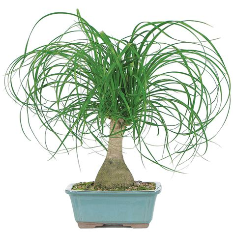 No Sun Plants Indoor by Ponytail Palm Care