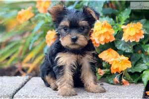 sapphire yorkies terrier yorkie puppy for sale near lancaster pennsylvania aa3e17b6 3761