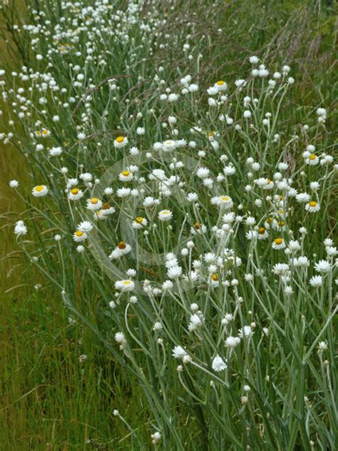 Facts About Daisy Flowers ammobium alatum sand flower winged everlasting winged
