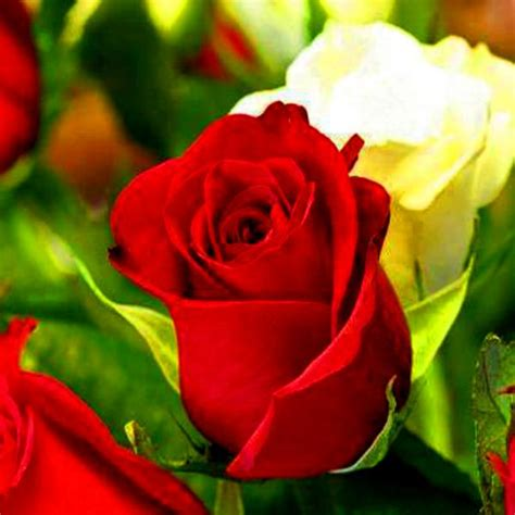 imagenes de wasap de flores fotos de flores blancas hermosas 2 jpg 600 215 600 rosa
