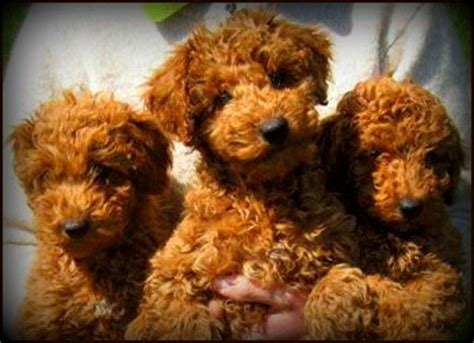 australian labradoodle puppies for sale kents hill australian labradoodles home