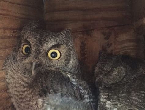 Screech Owl Po Archives - shelter animals archive ken white