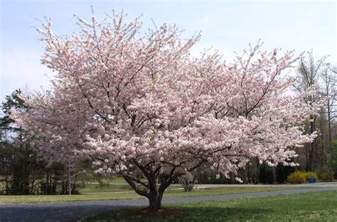 ciliegio fiorito potatura ciliegio potatura ciliegio coltivare ciliegio