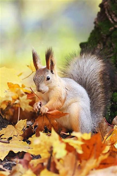 animal seasons squirrels autumn 1848358784 184 best images about bunnies and squirrels on animals and pets squirrels and nature
