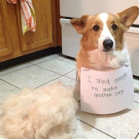 where to buy corgi puppies corgi shedding corgi guide
