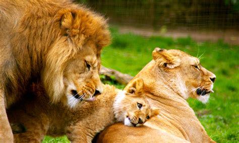 imagenes de leones macho y hembra 191 c 243 mo es el comportamiento de los leones su vida y