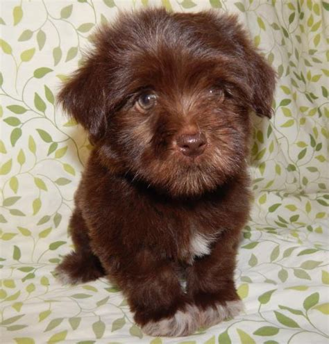 havanese puppies pennsylvania havanese shipping rates services