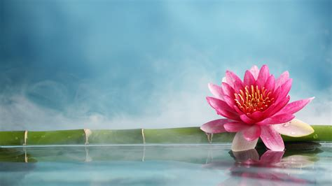 wallpaper lotus flower bamboo water  nature