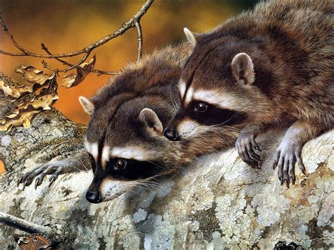 what to do if a raccoon is in your backyard raccoons fun animals wiki videos pictures stories