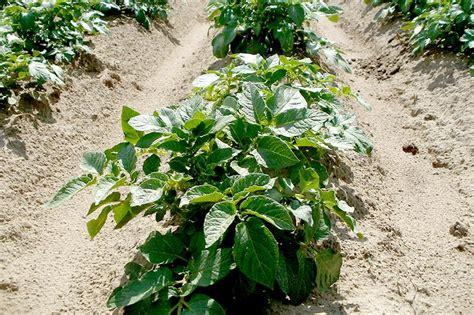 Wie Pflanze Ich Kartoffeln 4632 by Kartoffeln Pflanzen Und Ernten Wiressengesund