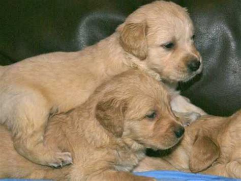 chion golden retriever puppies for sale golden retriever dogs and puppies for sale in the uk pets4homes